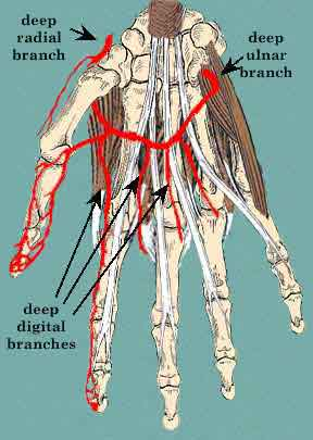 The deep radial artery branches from the radial artery to form the deep palmar arch, supplying blood to the fingers. Figure from http://home.comcast.net/~wnor/lesson5artofhand.htm, by Dr. Wesley Norman.